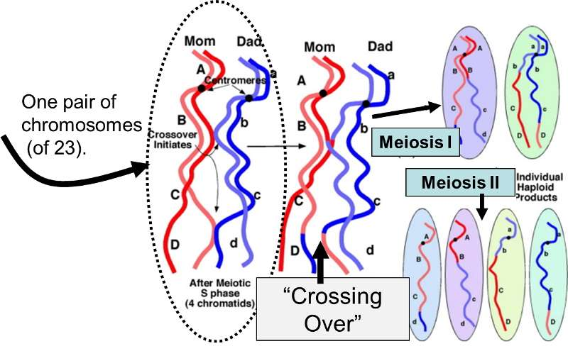 Dna genetics and evolution exchange of portions of maternal and parternal chromosomes during crossing over ccuart Image collections