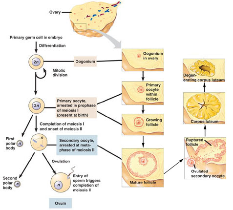 Fertilization, Oogenesis, and Spermatogenesis