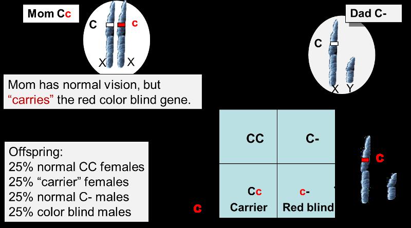 color blindness sex linked recessive allele in Downey