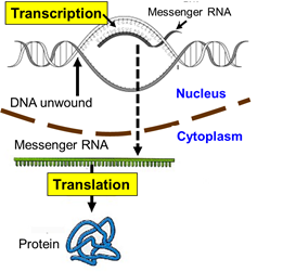 essay explaining the process of protein synthesis