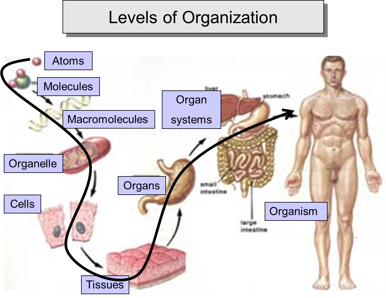 Lab presentation week 2 2 organization of cells general biology lab presentation week 2 2 organization of cells general biology laboratory outline 1 unicellular organisms 2 aggregatecolonial 3 biofilm 4 ccuart Images