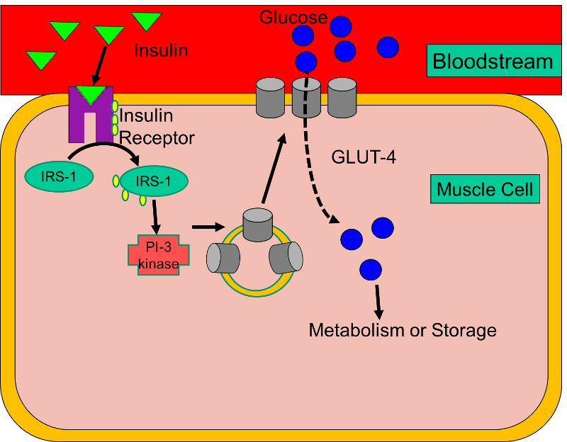 glucose transporter 4 glut4 and diabetes Insulin promotes glucose uptake into muscle and adipose tissues through glucose transporter 4 (glut4) the global prevalence of type 2 diabetes will reach 300.