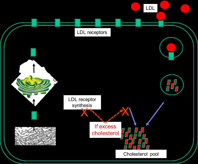HMG-CoA-reductase.png