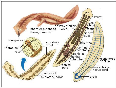 parazit maj
