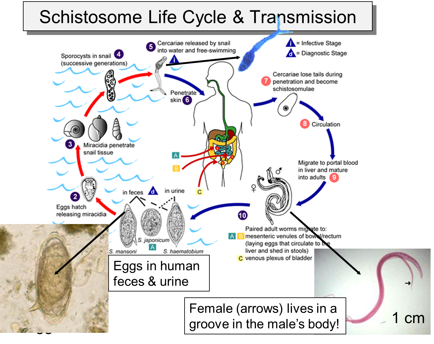 schistosome life cycle png