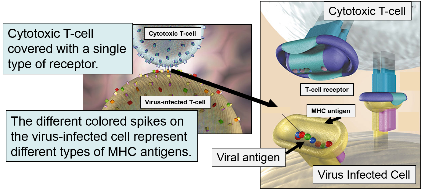 The Adaptive Immune System
