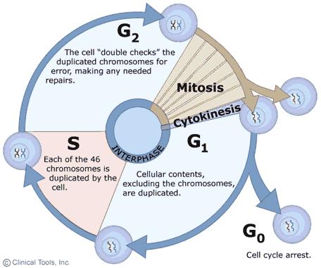 Biology Interphase Diagram Diy Enthusiasts Wiring Diagrams
