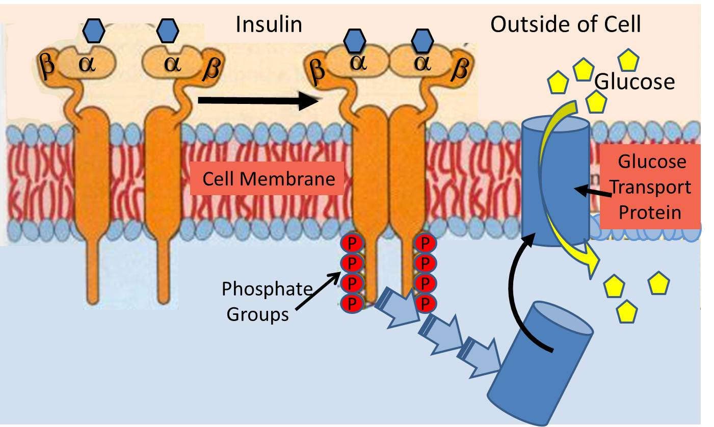 how insulin signals a cell to take in glucose