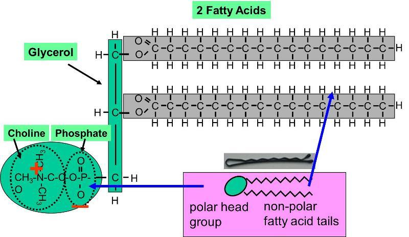 lipids  phospholipids