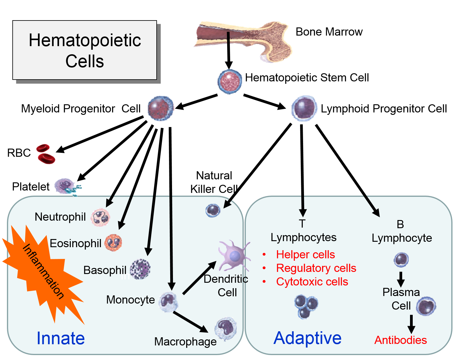 Normal Cell Division Growth Replacement Basiccelldiagrampng Hematopoeticstemcells