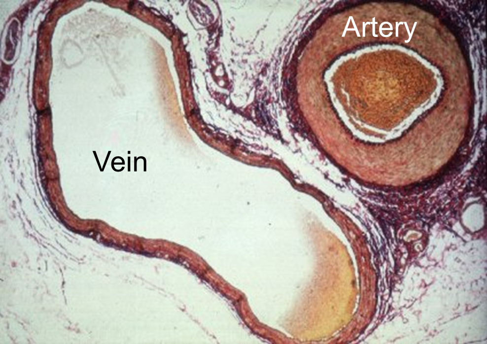 Arteries Vs Veins What Is The Difference Between The Pulmonary