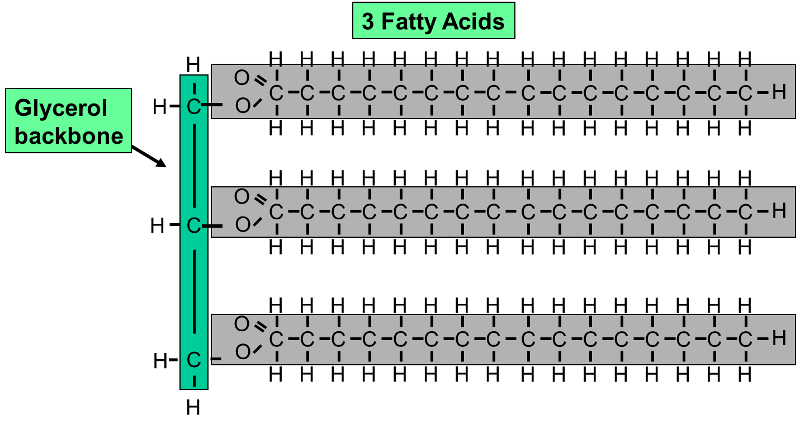 this example shows a triglyceride (fat) molecule with three saturated fatty  acids with the same number of carbon atoms in each of the three chains